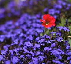 solitary (Martha M G Raymundo) Tags: flores dof jardim delicate purpleflower redflower florvermelha