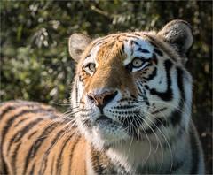 Amur tiger1 (Roger Nolan LRPS) Tags: cat bigcat siberiantiger amurtiger smarden wildlifeheritagefoundation bigcatsanctuary