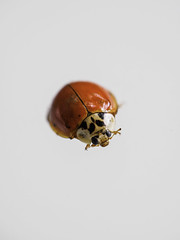 day of the ladybug ((robcee)) Tags: red orange toronto ontario canada macro eyes place insects bugs geolocation 2015 sixlegs geo:state=ontario geo:country=canada geo:city=toronto camera:make=olympusimagingcorp exif:make=olympusimagingcorp exif:focallength=45mm exif:aperture=ƒ40 exif:lens=leicadgmacroelmarit45f28 camera:model=em1 exif:model=em1 exif:isospeed=500