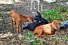 DSC_0052 (kenken.marilag) Tags: flower cow rice philippines farming nueva baka palay ecija lupao