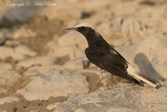 Hooded Wheatear (Oenanthe monacha) (Bird Guide UAE - 1M+ Views thanks !) Tags: unitedarabemirates rasalkhaimah oenanthemonacha