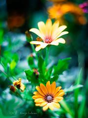 in my friend's garden (kinga.lubawa) Tags: flowers autumn flower colors pentacon kwiaty jesie kwiat kolory kolorowe canon6d