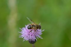 Blinde Bij (Eristalis tenax) (Frank Berbers) Tags: insect hoverfly zuidlimburg schwebfliege zweefvlieg