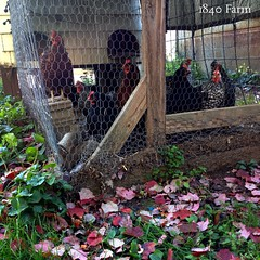 "The hens couldn't quite understand why I was so intrigued by these red leaves from their Maple tree. They all watched while I was taking pictures. Clearly, they think that I need supervision when I'm near the coop!  #1840Farm #farm #chicken #hens #coop #F • <a style=""font-size:0.8em;"" href=""http://www.flickr.com/photos/54958436@N05/22107538391/"" target=""_blank"">View on Flickr</a>"
