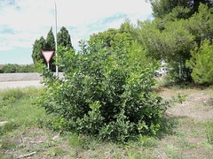 Stein-Eiche am Poligonio Industrial, Can Picafort, Mallorca, NGIDn1282268778 (naturgucker.de) Tags: quercusilex steineiche naturguckerde cwolfgangkatz 1038097865 409271081 961301115 ngidn1282268778