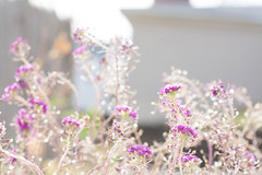 sweet alyssum (TheLittleMiss) Tags: sunlight purple overexposed sweetalyssum lobulariamaritima