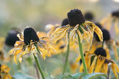 Turning of the Seasons (mclcbooks) Tags: flowers autumn flower fall floral colorado bokeh dying denverbotanicgardens