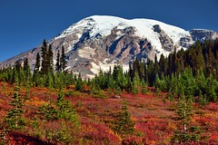 Autumn in Paradise (Mount Rainier National Park (thor_mark ) Tags: trees mountains nature colors forest unitedstates glacier snowcapped canvas mountrainier evergreens mountrainiernationalpark glaciers wa blueskies portfolio hillside day4 gibraltarrock cascaderange stratovolcano skylinetrail evergreentrees alpinemeadow columbiacrest project365 nisquallyglacier lookingnnw colorefexpro smalltrees multiplecolors eccezionale pacificranges pointsuccess mountainsindistance absolutelystunningscapes mountrainierarea nikond800e mountainsoffindistance capturenx2edited hillsideoftrees triptomountrainierandcolumbiarivergorge mountrainiermassif southwashingtoncascades hikingupthesideofmountrainier trailsaroundparadiseinn multitudeofplantleafcolors 14158feet 4315meters