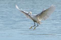 Aigrette garzette (Tifaeris) Tags: bird oiseau littleegret egrettagarzetta aigrettegarzette ardéidés pélécaniformes