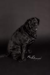 (rzuehlkephotography) Tags: dog pet black love animal canon puppy studio happy labrador smiles adorable ham cuddly blacklab servicedog veteran lovable profoto serviceanimal