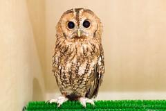 (GenJapan1986) Tags: bird animal japan kyoto owl     2015    nikond610