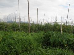 "Lac Inlé: champs de tomates flottants <a style=""margin-left:10px; font-size:0.8em;"" href=""http://www.flickr.com/photos/127723101@N04/23190610660/"" target=""_blank"">@flickr</a>"