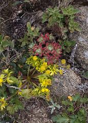 On the bluff above Abbott's Lagoon (celiaronis) Tags: celia dudleya pointreyescelia