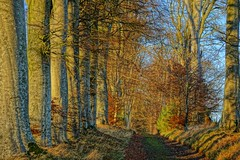 Beech lined track.. (artanglerPD) Tags: road trees sunlight december farm beech udnygreen