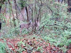 Ciervos (Daquella manera) Tags: md capital maryland crescent deer trail ciervo cct ciervos