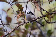 _69Q4080 (jojotaikoyaro) Tags: autumn bird nature canon sigma momiji jp    1dx 150600mms