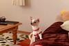 sakura (Marble11) Tags: dog chihuahua 50mm nikon sakura f18 18 さくら d610