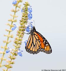 Monarch sipping nectar (v4vodka (back in Poland)) Tags: butterfly insect lepidoptera monarch milkweed wanderer monarchbutterfly danausplexippus motyl milkweedbutterfly commontiger blackveinedbrown