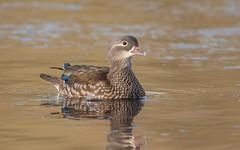 Mandarin Duck (female) (tickspics ) Tags: aixgalericulata cairinini eyeworthpond fritham hampshire mandarinduck newforest perchingducks uk