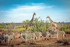 good to have the overview (iSteven-ch) Tags: omusatiregion eos5dmarkiv burchellszebra wildanimals safari travel namibia giraffe canon steppenzebra africa bush na
