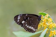 Drinking with Straw  ପଓ*ೃ (satochappy) Tags: flower flowers commoncrow euploeacore tristaniopsislaurina kanooka watergum sydney australia yellow canon sigma150600