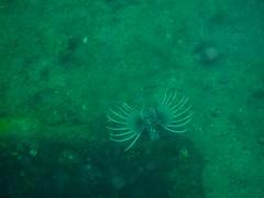 P1010065 (jirkahronik) Tags: autoupload philippines subic bay checksum51b9383c24f9819014f38ba9541b56e4 lionfish scuba underwater