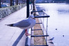 かもめ  海鷗 (柯奕劭) Tags: かもめ 海鷗 鳥 bird