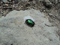 Aranyos rózsabogár (Cetonia aurata) (jetiahegyen) Tags: rovar börzsöny túra túrázás kirándulás kéktúra országoskéktúra okt tour hiking outdoor insect