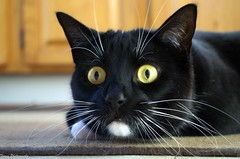 Wow... Did you see that??? (Captions by Nica... (Fieger Photography)) Tags: toby cat catmoments catportrait catseyes pet portrait eyes feline animal indoor funnyfaces funny face quebec canada