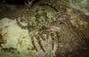 Dolophones notocantha (dustaway) Tags: arthropoda arachnida araneae araneomorphae araneidae araneinae dolophones camouflage australianspiders tamborinemountain sequeensland queensland australia