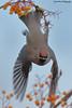 Bohemian Waxwing, Bombycilla garrulus (Midlands Reptiles & British Wildlife Diaries) Tags: bohemian waxwing bombycilla garrulus flight ornithology rowan berries berry david nixon fauna forest ecology ltd canon 600