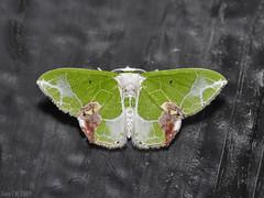 Comibaena sp, Geometridae Geometrinae Geometrini (Green Baron Pro) Tags: malaysia 200902 200903 moth frasershill brinchang geometridae geometrinae geometrini