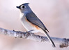 Majestic Titmouse (Dale Wiley) Tags: tuftedtitmouse