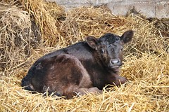 meet Bruno.................... (Suzie Noble) Tags: pedigreeaberdeenangus cow bull calf farm strathglass struy