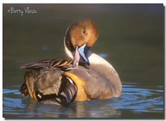 Northern pintail (Betty Vlasiu) Tags: northern pintail anas acuta bird nature wildlife