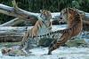 sumatran tiger Burgerszoo JN6A1360 (j.a.kok) Tags: tijger tiger sumatraansetijger sumatrantiger pantheratigrissumatrae tess nonja burgerszoo burgerzoo kat cat mammal zoogdier predator azie asia sumatra