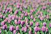 Flowers (RafalZych) Tags: botanical garden tulip tulips tulipan tulipany ogród botaniczny botanik lodz łódź kwiaty kwiat flower flowers tamron 90 macro 28 nikon d90 bokeh boke violet fioletowy color colors wallpaper carpet