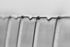 Lines. (Dikke Biggie.) Tags: 52in2017 37lines line lines lijn lijnen happyfencedfriday hff fence fenced fencing fencedfriday hek hekwerk omheining friday vrijdag wire steelwire draad staaldraad frosty frozen slightlyfrozen vorst bevroren blackandwhite bw black white zwartwit zwart wit zw monochrome monochroom closeup detail macro 100mm f28 canon canoneos450d dof depthoffield scherptediepte bokeh twist gedraaid canonnl dgawc