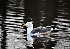 Gull (deannewildsmith) Tags: earthnaturelife fradleynaturecentre fradley gull herringgull