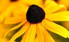 Rudbeckia (Rod Waddington) Tags: australia rudbeckia blackeyedsusan coneflower perennial sunflower plant flower garden nature portrait
