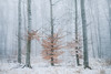 (jancza) Tags: trees nature raca panova luka winter 2017 januar snow snowing canon photography sigma 35mm slovakia