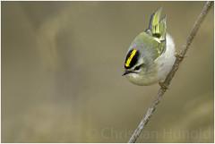 golden-crowned kinglet (Christian Hunold) Tags: goldencrownedkinglet songbird bird indianergoldhähnchen bokeh johnheinznwr philadelphia christianhunold