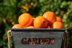 Day 21 ~ oranges from the garden (champbass2) Tags: california usa buttecounty chico oranges citrus fromthegarden container garden harvest day21365 3652017 day21 2017 day365project vitaminc fruit navelorange winter bokeh