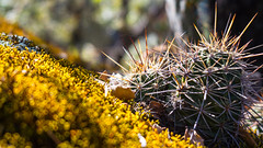 Be careful with the thorns (giulian.frisoni) Tags: mexico cactus cactacea close closeup plant vegetation green thorns thron torn chihuahua majalca nature
