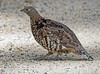 "Grouse In The Road (jimgspokane) Tags: grouse birds wildlife camping idahostate fall ""nikonflickraward"" roughedgrouse"