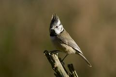 Crested Tit (J J McHale) Tags: crestedtit lophophanescristatus bird highlands scotland nature wildlife
