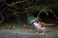 Sparrow (Cloudtail the Snow Leopard) Tags: spatz vogel bird tier animal zoo karlsruhe sparrow sperling passeridae