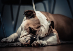 Cookie (brunopbessa) Tags: cookie english bulldog dog puppy