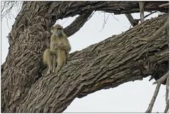 _DSC5619PJ_resultat (http://phj.bookfoto.com/) Tags: botswana philippe jubeau afrique delta okavango babouin