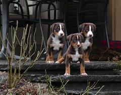 First excursion (steffi's) Tags: appenzeller sennenhund welpen dog hund cane havannafarben appenzellersennenhund